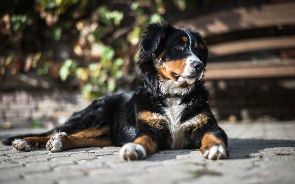Animal Sennenhund Dogs Dog Bernese Mountain Dog HD Wallpaper | Background Image