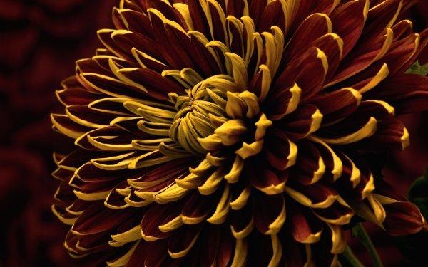 Earth Chrysanthemum Flowers Flower Nature Red Flower Macro HD Wallpaper   Background Image