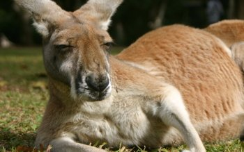 Animalia - Kangaroo Wallpapers and Backgrounds ID : 82346