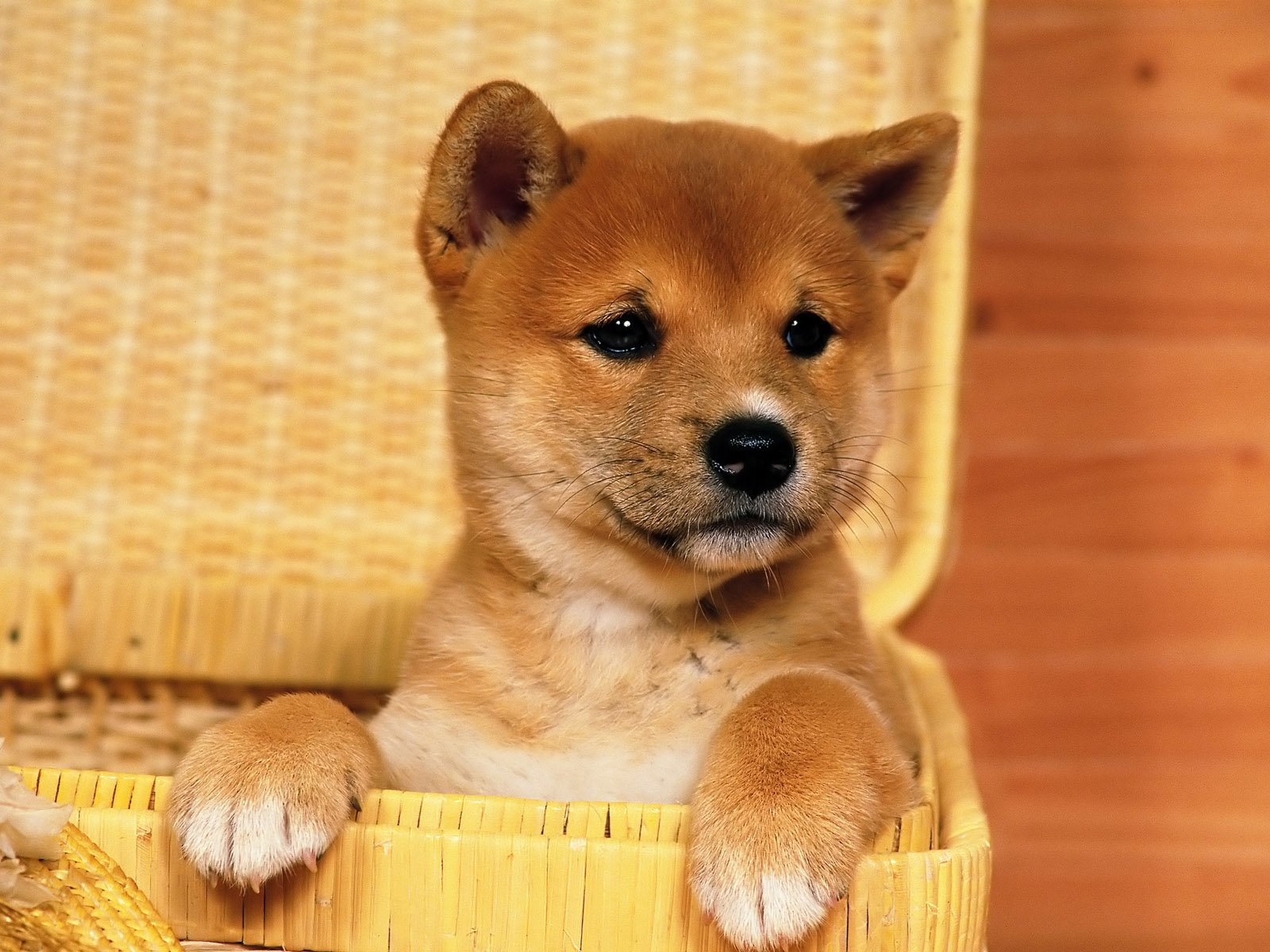 Animal - Shiba Inu  Dog Puppy Wallpaper