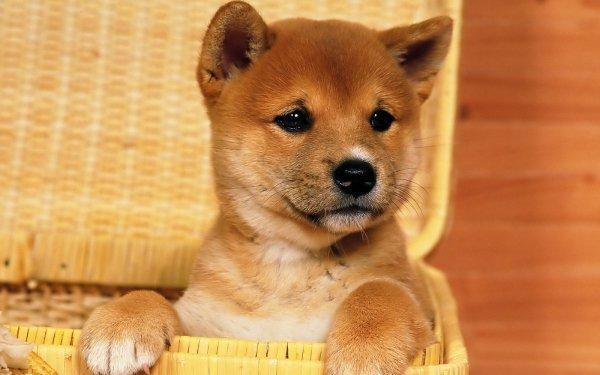 Animal Shiba Inu Dogs Dog Puppy HD Wallpaper | Background Image