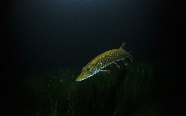 Animal Northern Pike Fish Underwater HD Wallpaper | Background Image