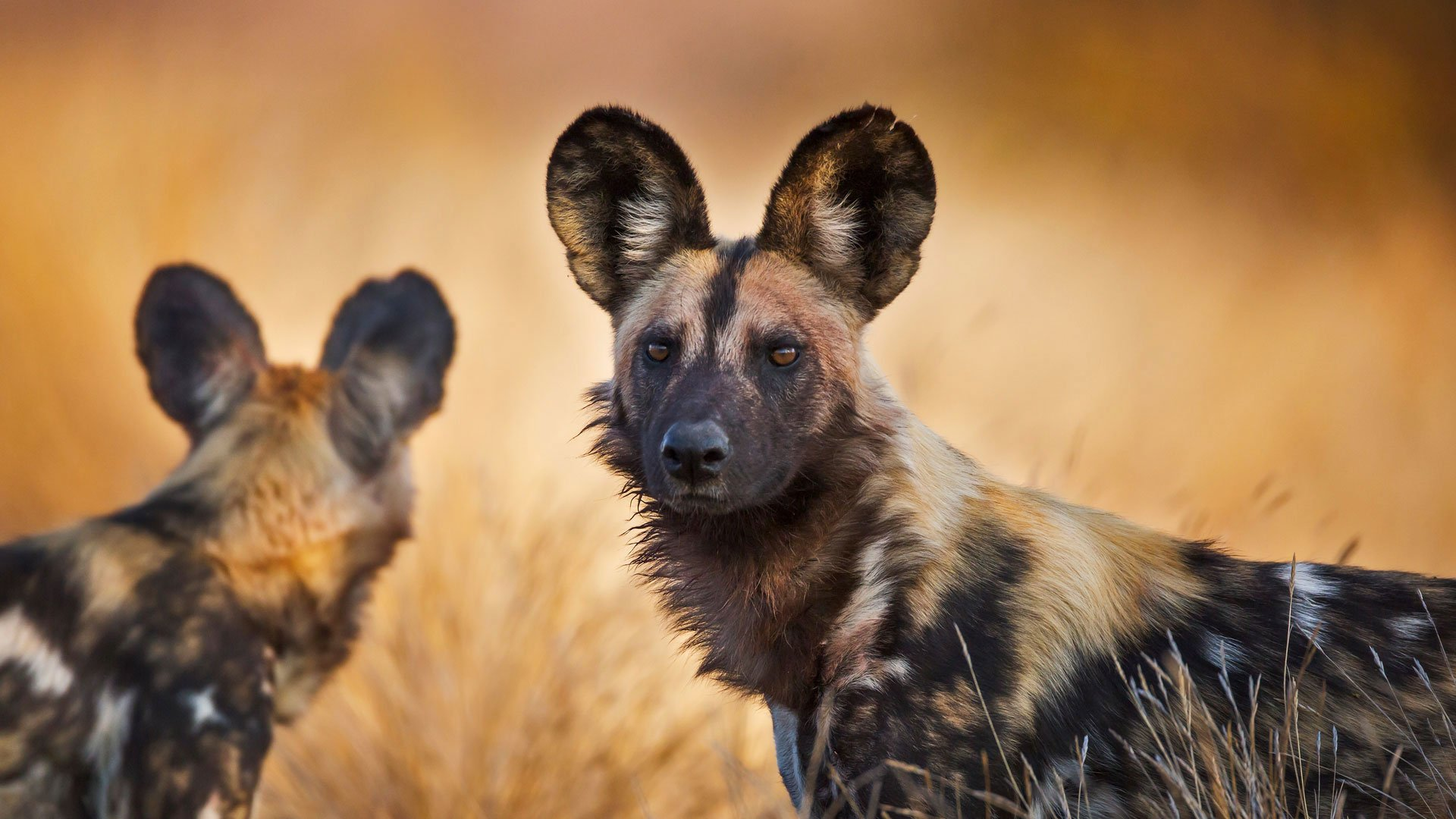 African Wild Dogs Hd Wallpaper  Background Image -4216