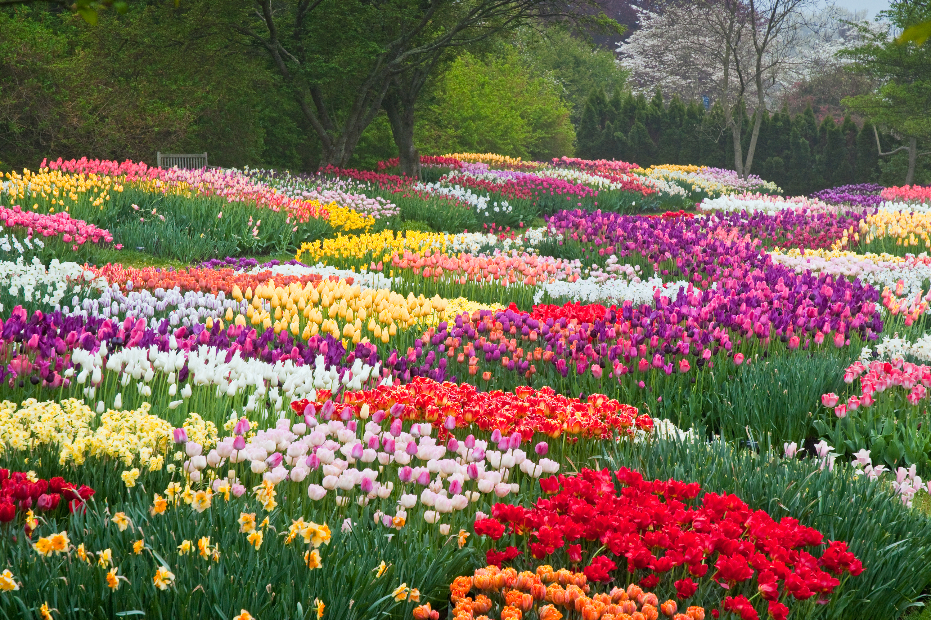 Tulips In The Park Hd Wallpaper Background Image