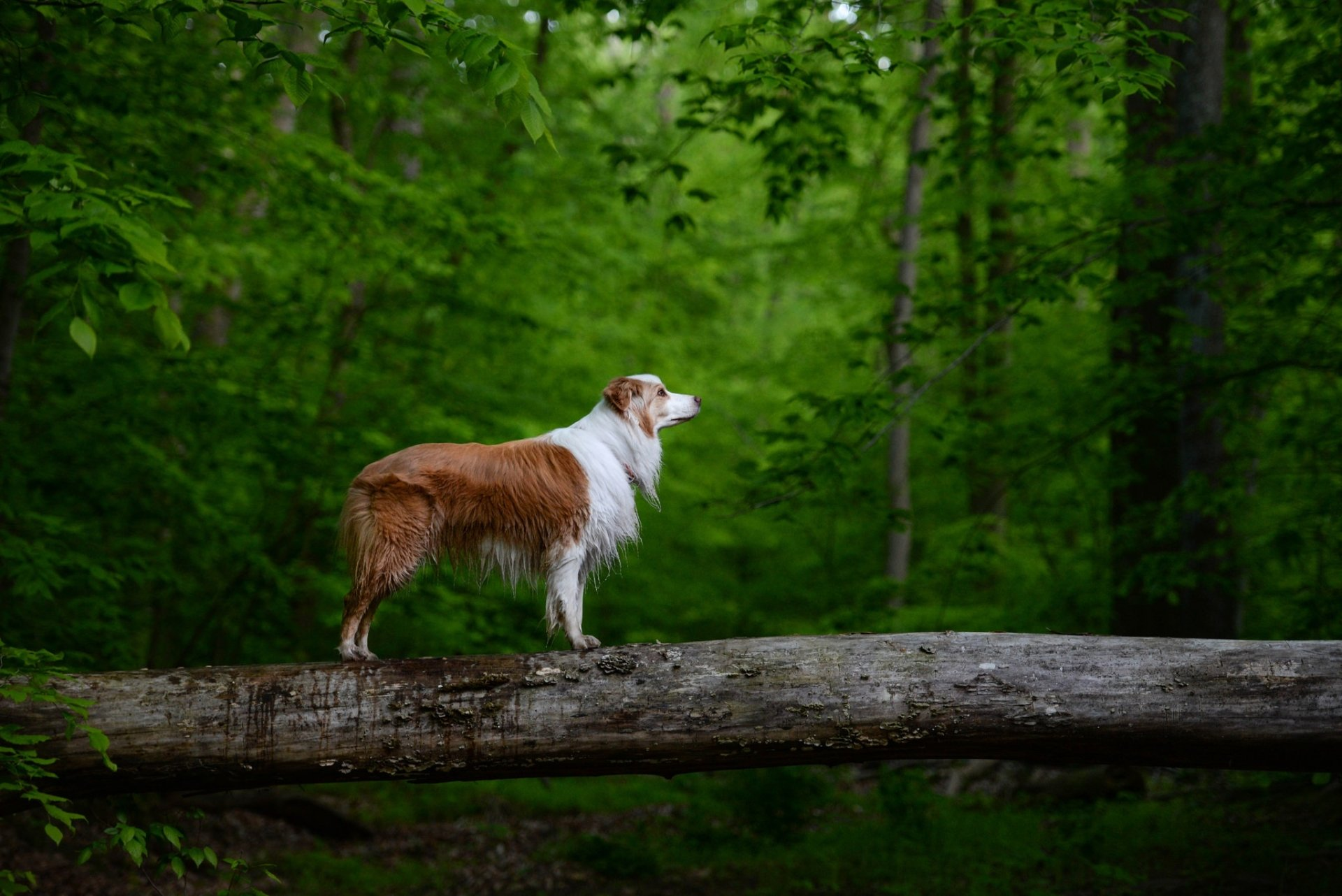 Animal - Australian Shepherd  Forest Log Pet Dog Wallpaper
