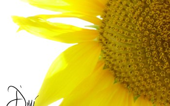 Earth - Sunflower Wallpapers and Backgrounds ID : 84588