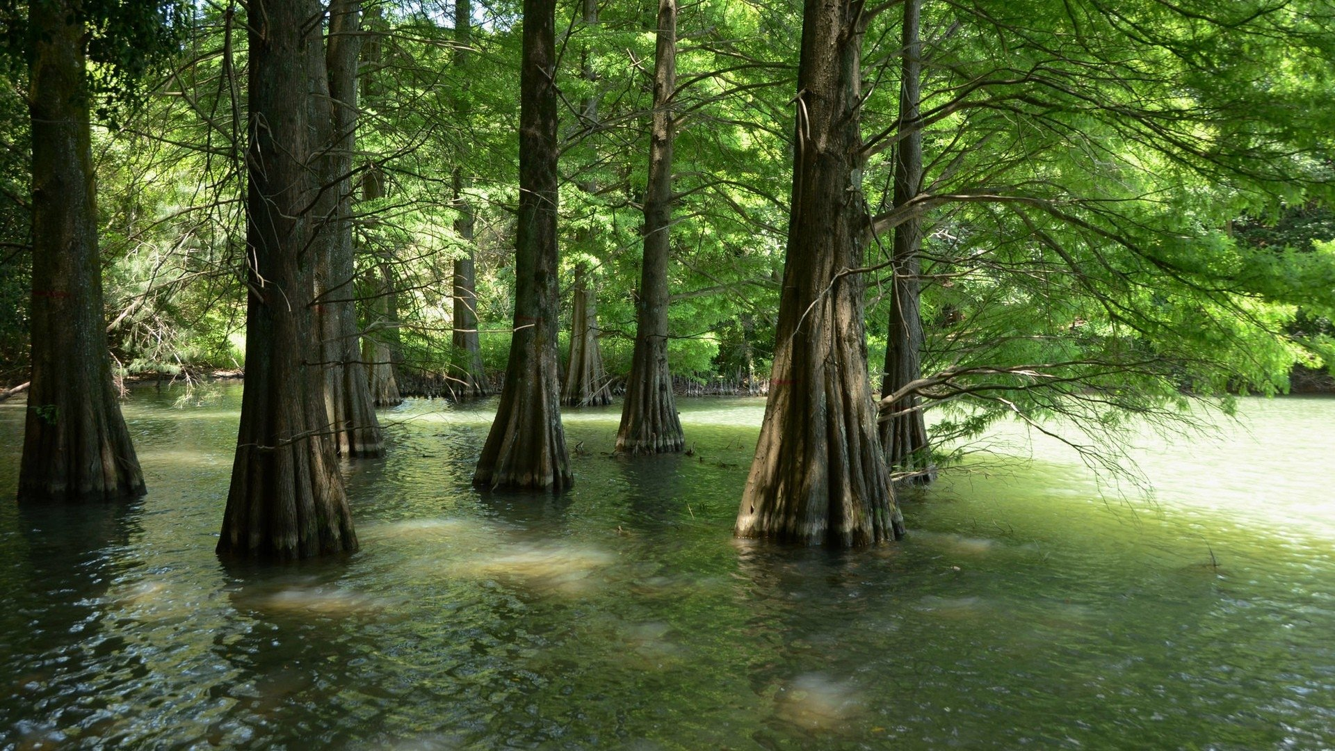 Earth - Swamp  Nature Tree Water Forest Wallpaper