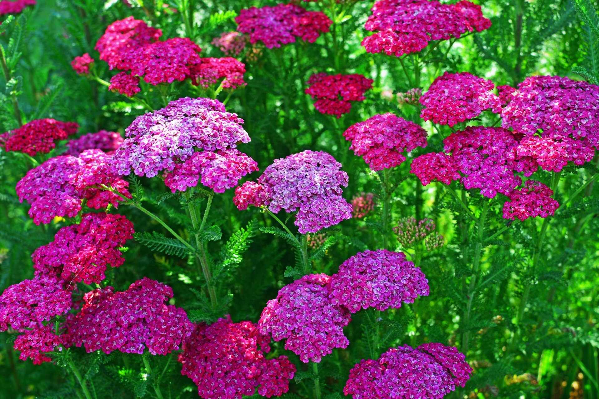 Verbena Flowers Full HD Wallpaper and Background 3000x2000