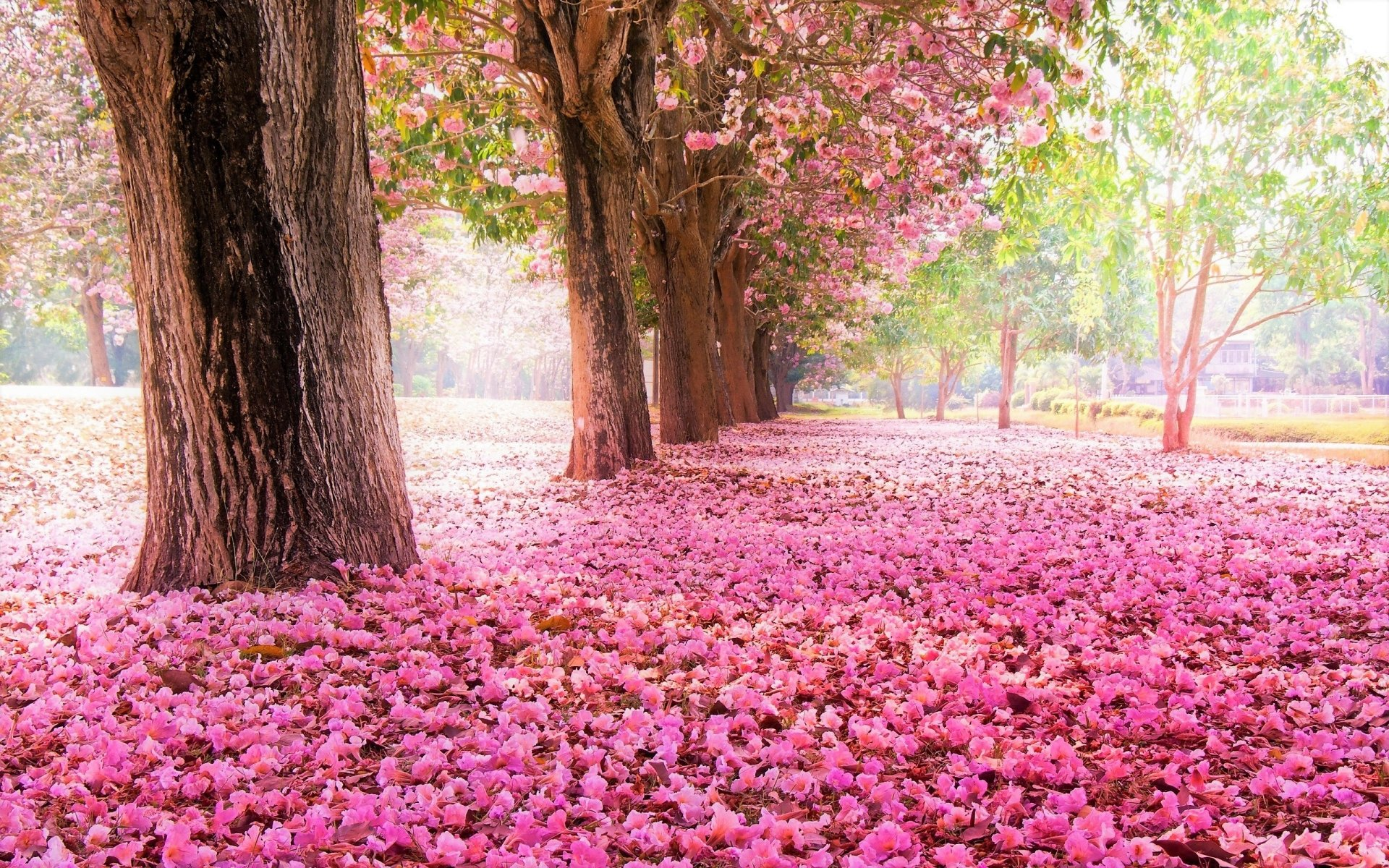 Earth - Tree  Park Tree-Lined Earth Blossom Pink Flower Petal Wallpaper