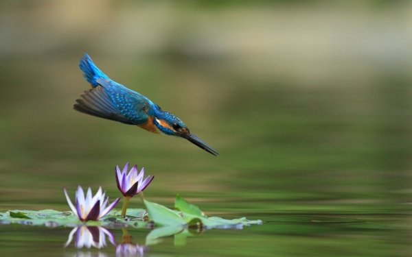 Animal Kingfisher Birds Kingfishers Bird Water Water Lily Wildlife HD Wallpaper | Background Image