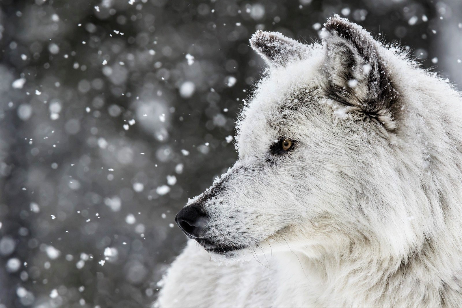 White Wolf in Winter Wallpaper and Background Image ...