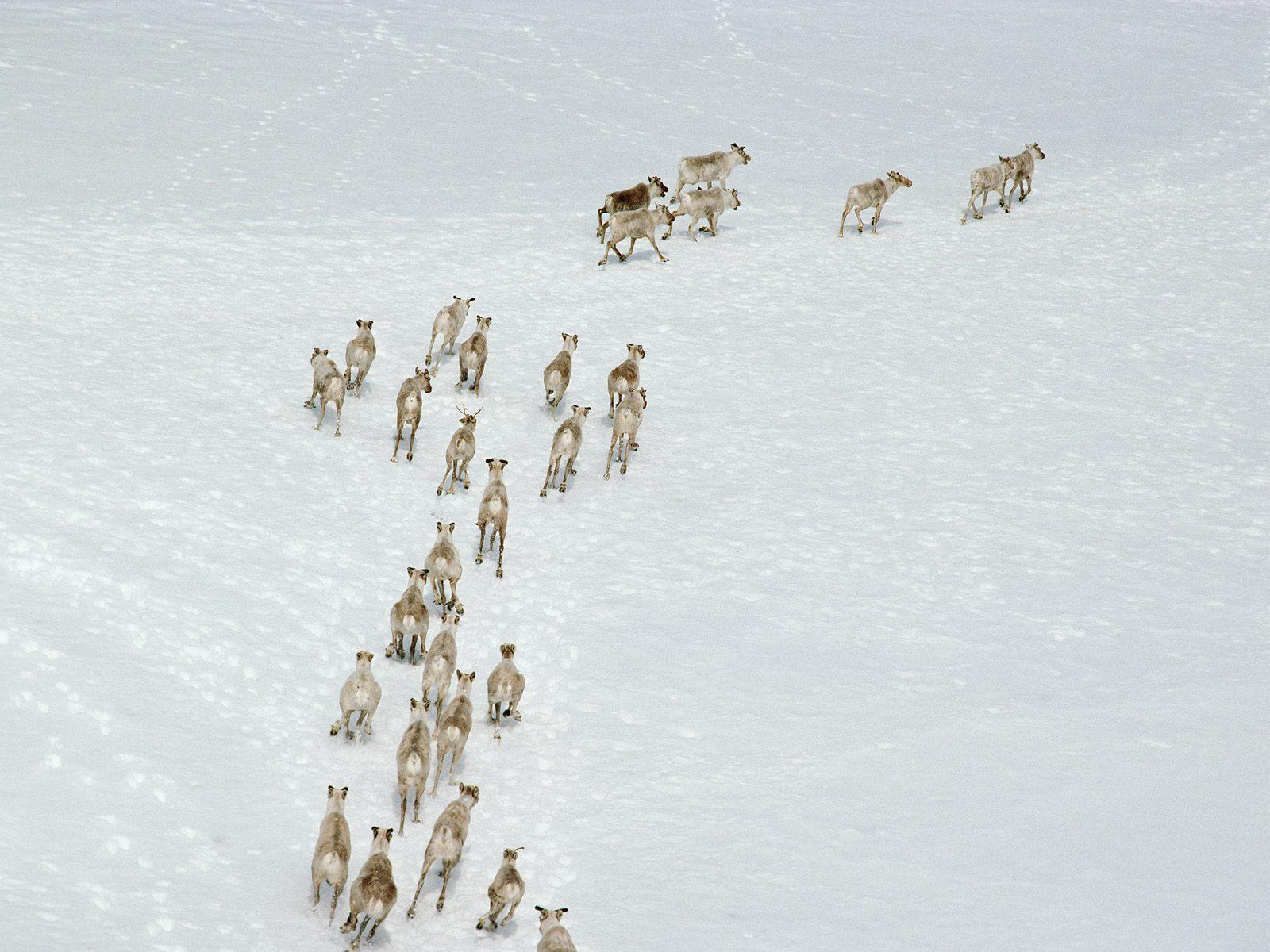 Animal - Deer  Wallpaper