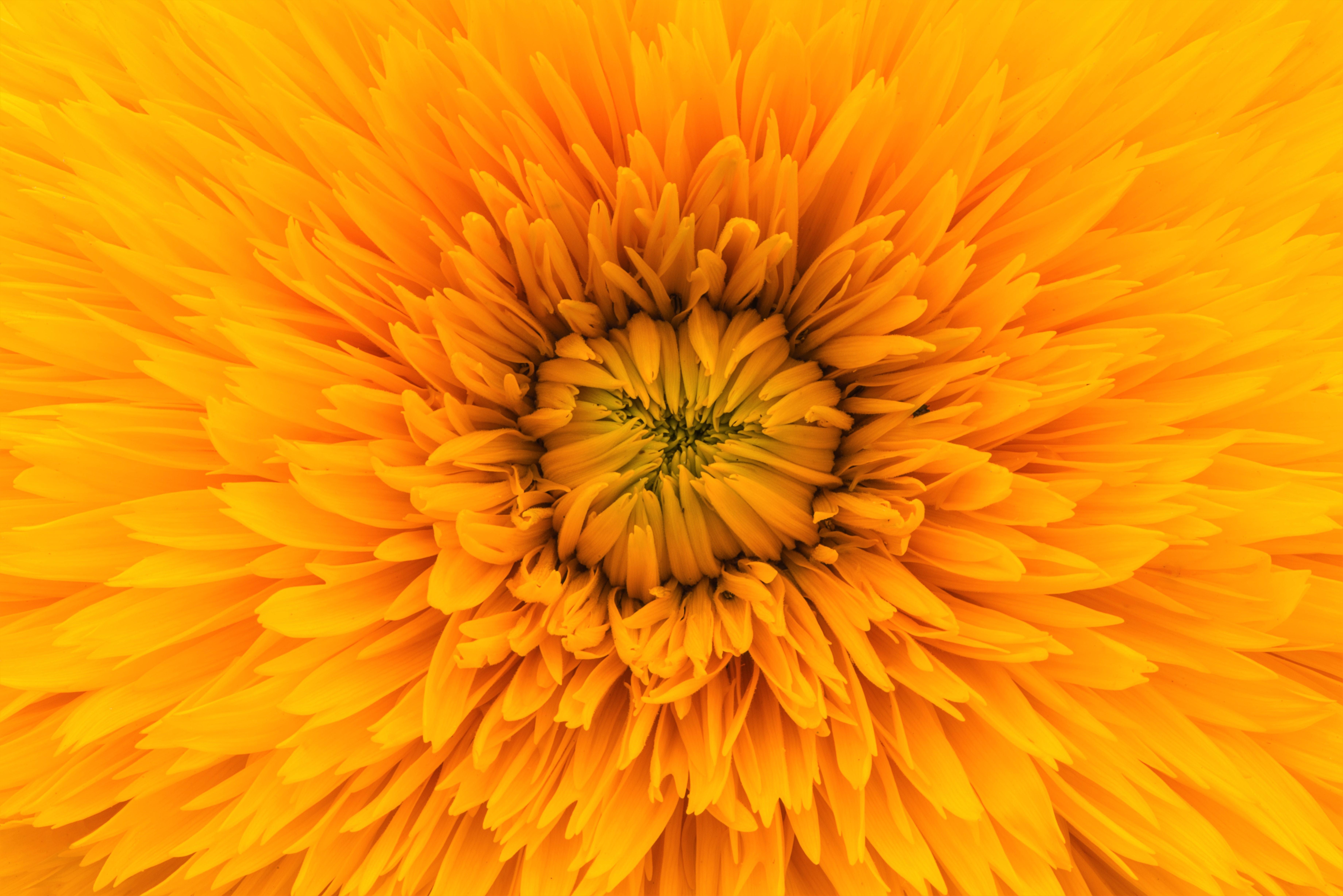Golden Flower 5k Retina Ultra HD Wallpaper | Background Image