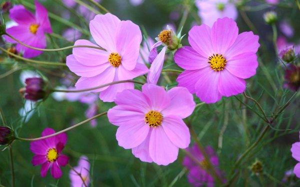 Earth Cosmos Flowers Flower Purple Flower HD Wallpaper   Background Image
