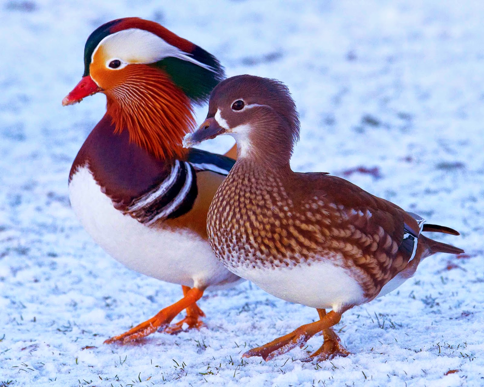 Male And Female Mandarin Duck Wallpaper Background Image