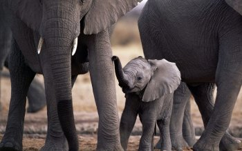 Animalia - Elefante Wallpapers and Backgrounds ID : 88196