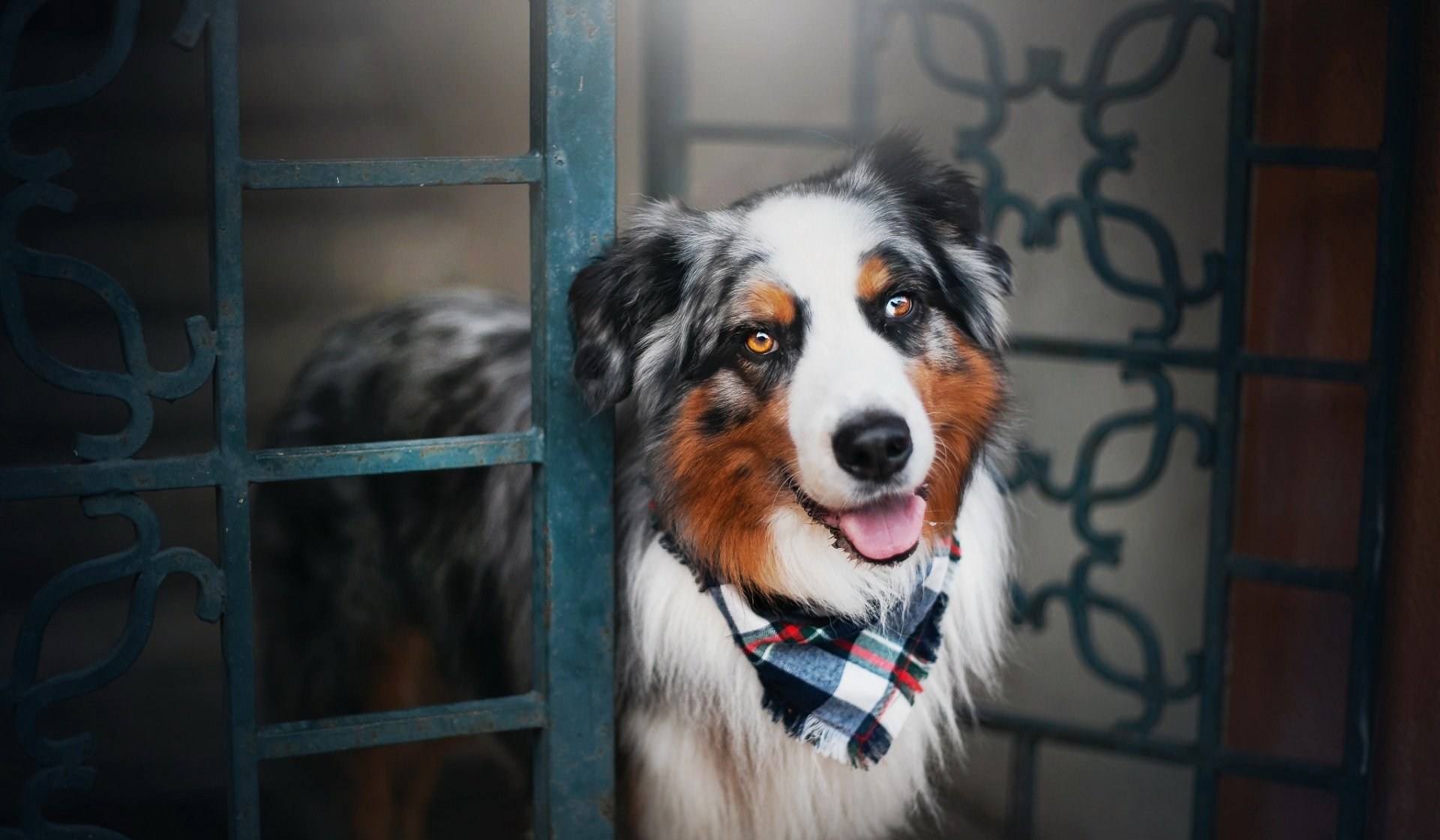 Animal - Australian Shepherd  Dog Pet Wallpaper