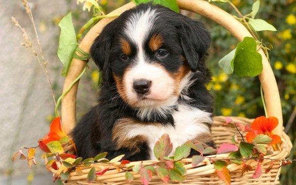 Animal Bernese Mountain Dog Dogs Dog Puppy Baby Animal HD Wallpaper | Background Image