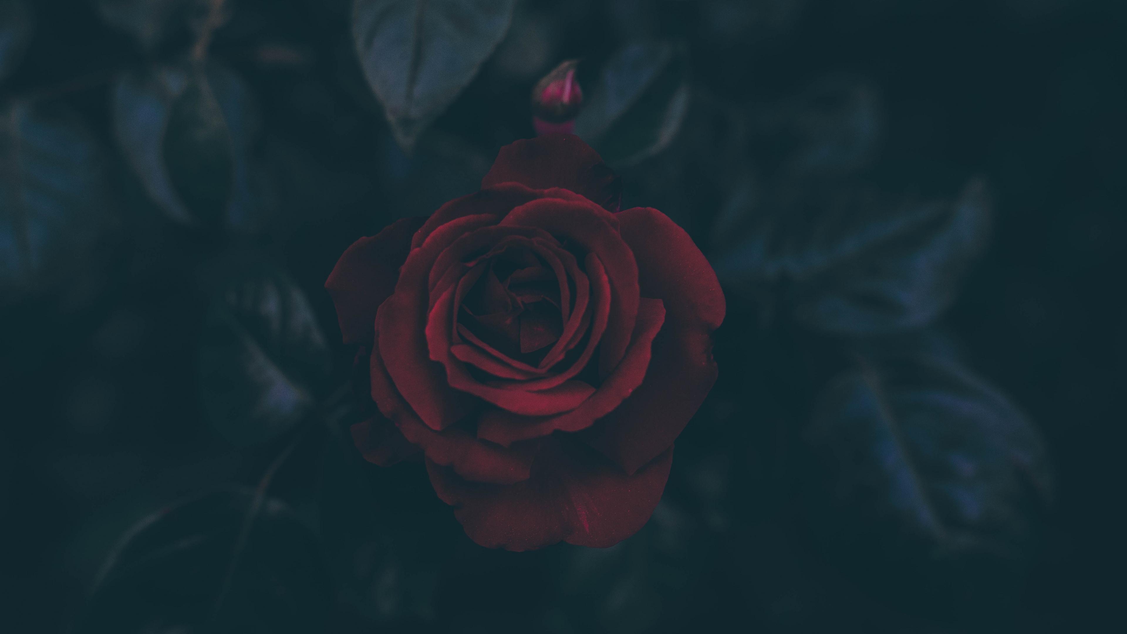Rose 4k Ultra HD Wallpaper