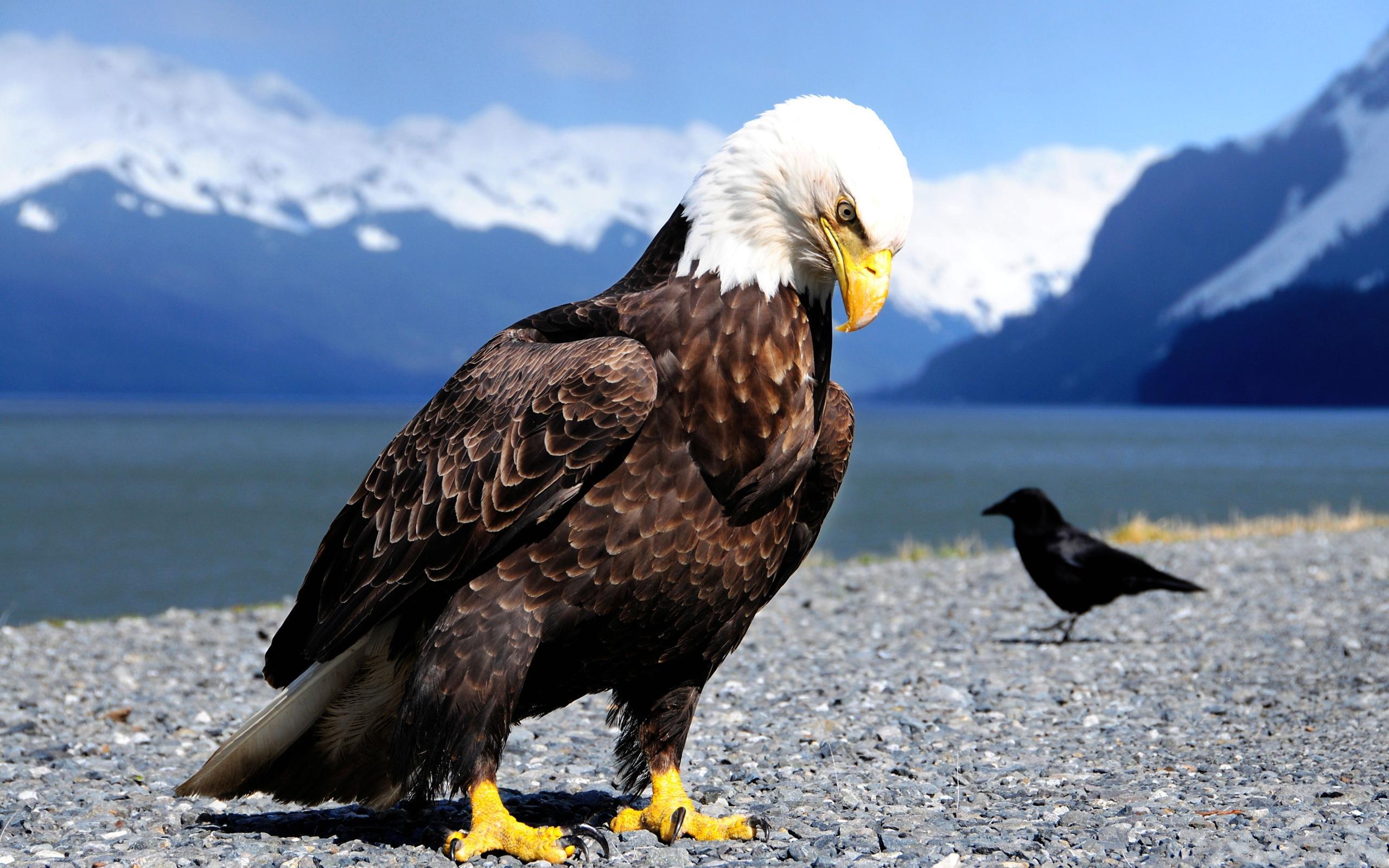 Animales - Águila Calva  Ave Águila Montaña Animales Fondo de Pantalla