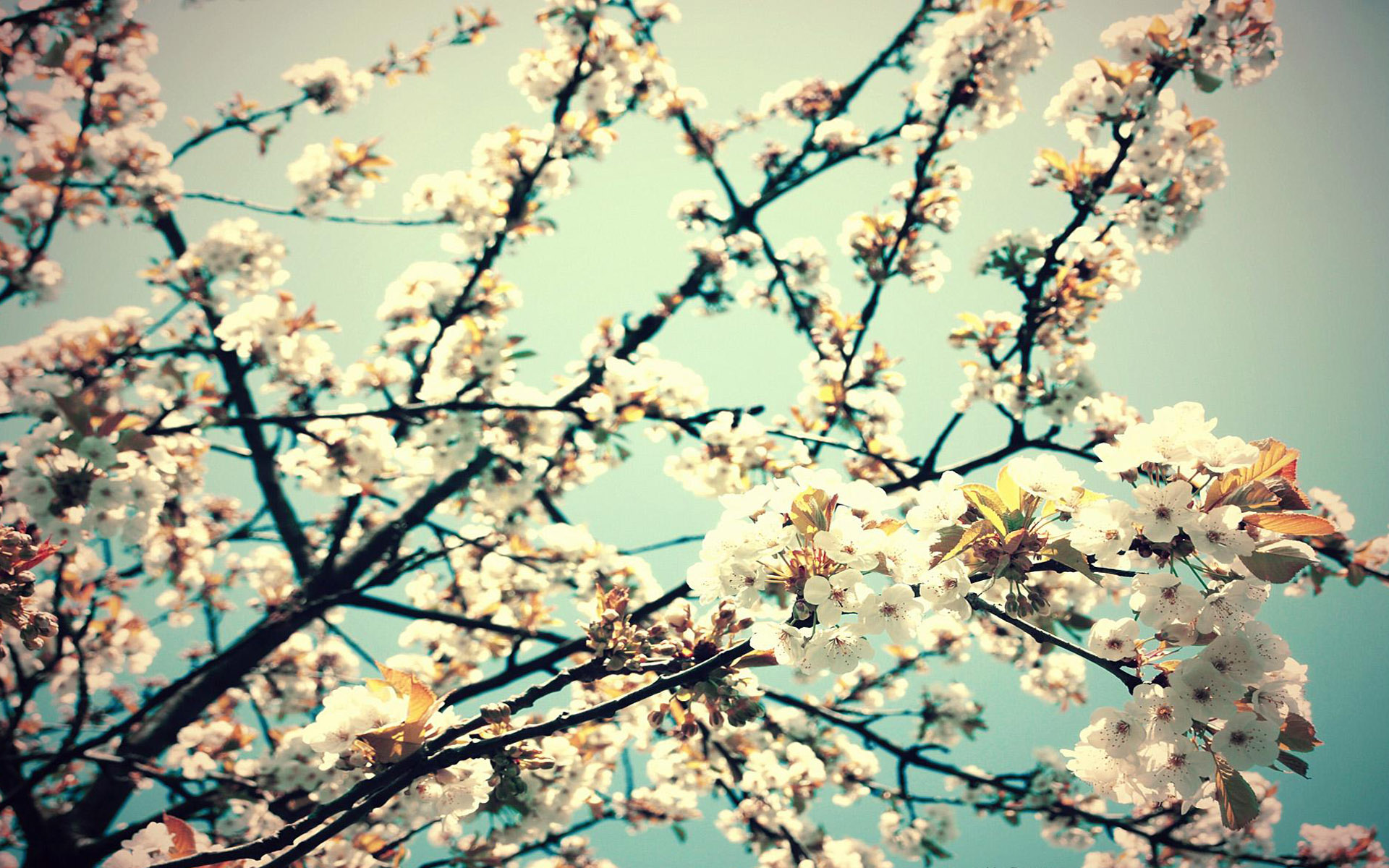 Blossom Hd Wallpaper Background Image 1920x1200 Id 89328