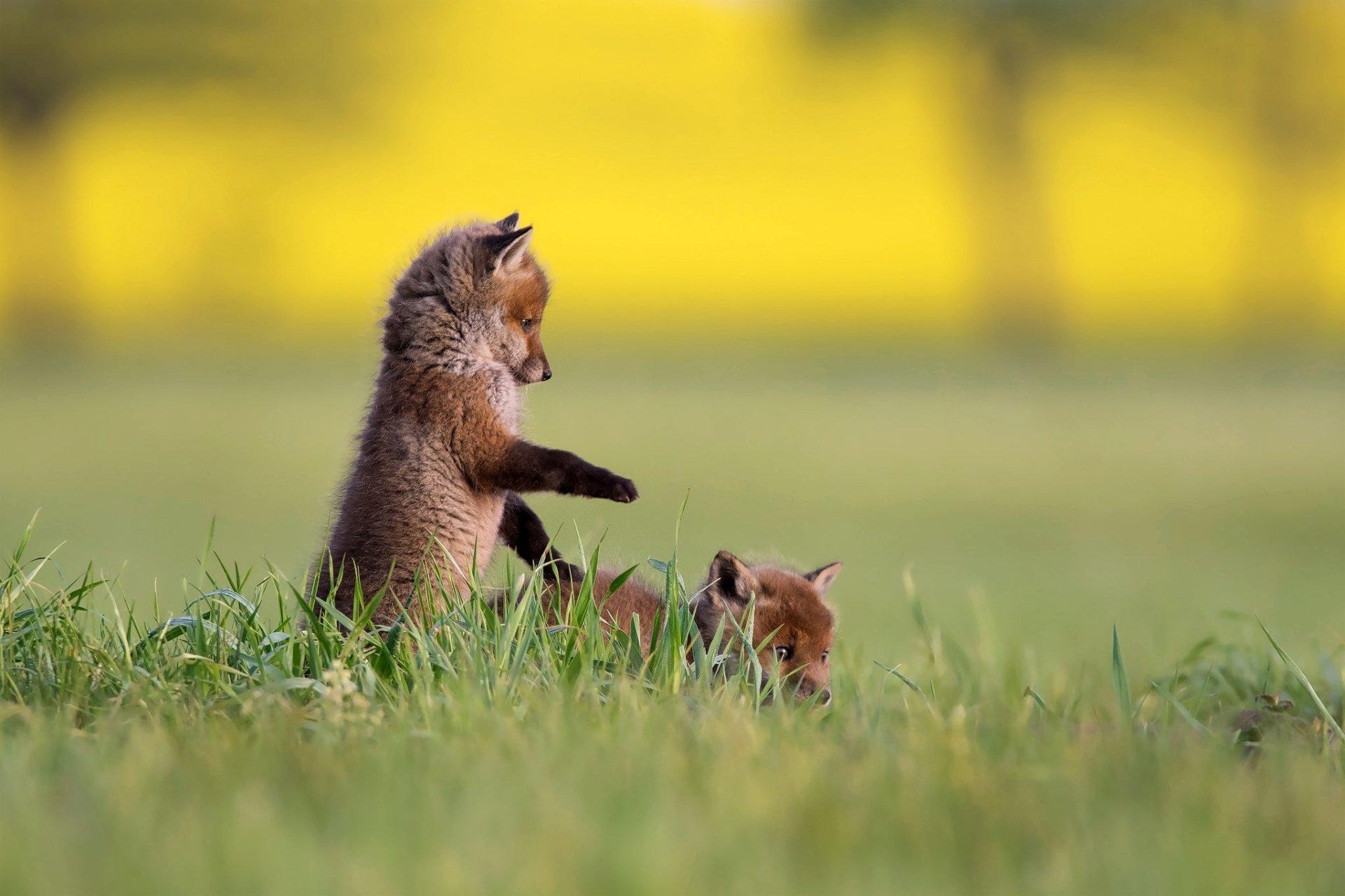 Animal - Fox  Wildlife Depth Of Field Baby Animal Cub Wallpaper