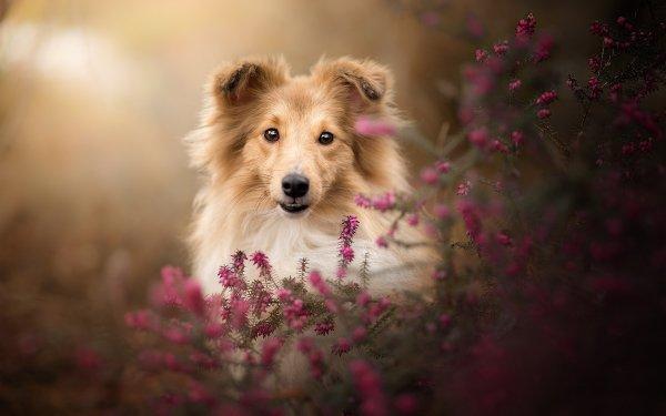 Animal Shetland Sheepdog Dogs Dog Pet Baby Animal Puppy HD Wallpaper   Background Image