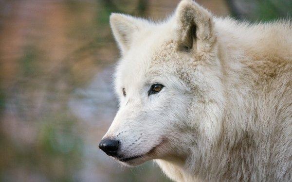Animal Wolf Depth Of Field Wildlife predator White Wolf HD Wallpaper   Background Image