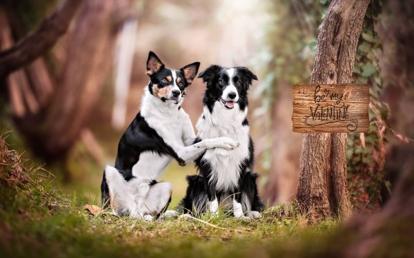 Animal Dog Dogs Pet Depth Of Field Border Collie HD Wallpaper   Background Image