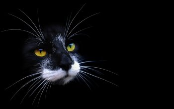 Animal - Cat Wallpapers and Backgrounds ID : 91026