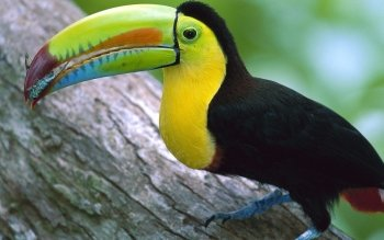 Animal - Toucan Wallpapers and Backgrounds ID : 91286