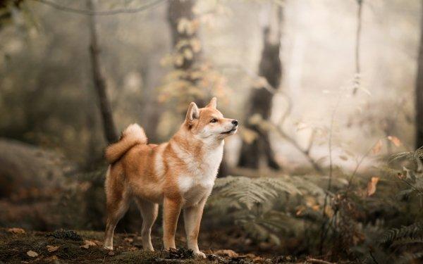 Animal Shiba Inu Dogs Dog Pet Depth Of Field HD Wallpaper   Background Image