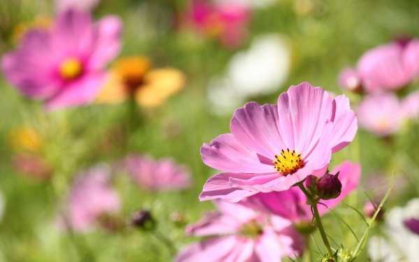 Earth Cosmos Flowers Nature Flower Pink Flower HD Wallpaper   Background Image