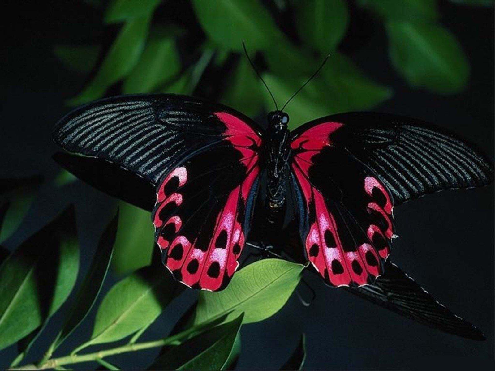 Download 600+ Wallpaper Black Butterfly  Paling Baru