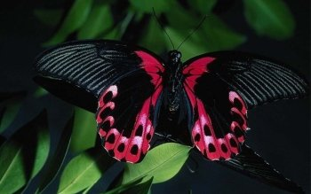 Animal - Butterfly Wallpapers and Backgrounds ID : 91468