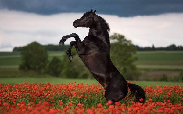 Animal Horse Depth Of Field Field Summer Flower Poppy Red Flower HD Wallpaper | Background Image