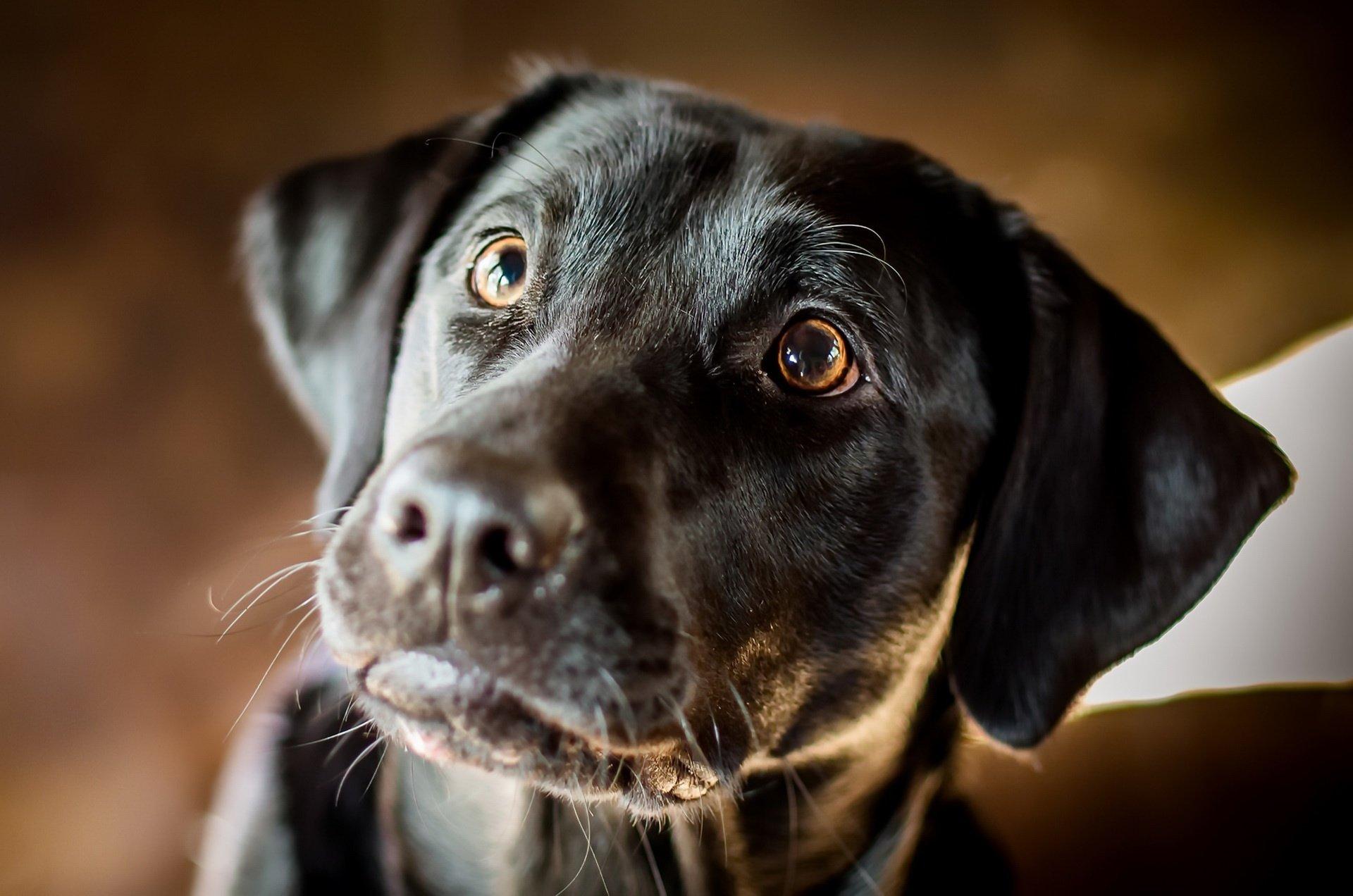 Animal - Labrador Retriever  Dog Pet Muzzle Wallpaper