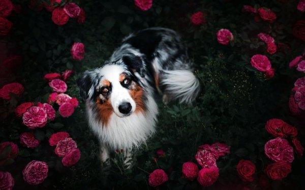 Animal Australian Shepherd Dogs Border Collie Dog Pet Flower Pink Flower HD Wallpaper   Background Image
