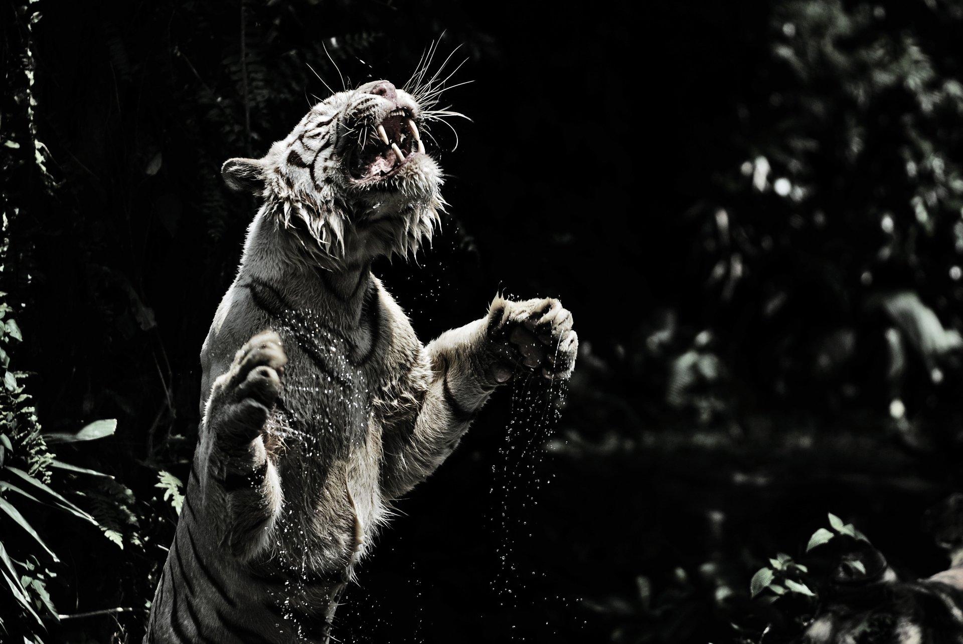 White Tiger 4k Ultra HD Wallpaper | Background Image ...