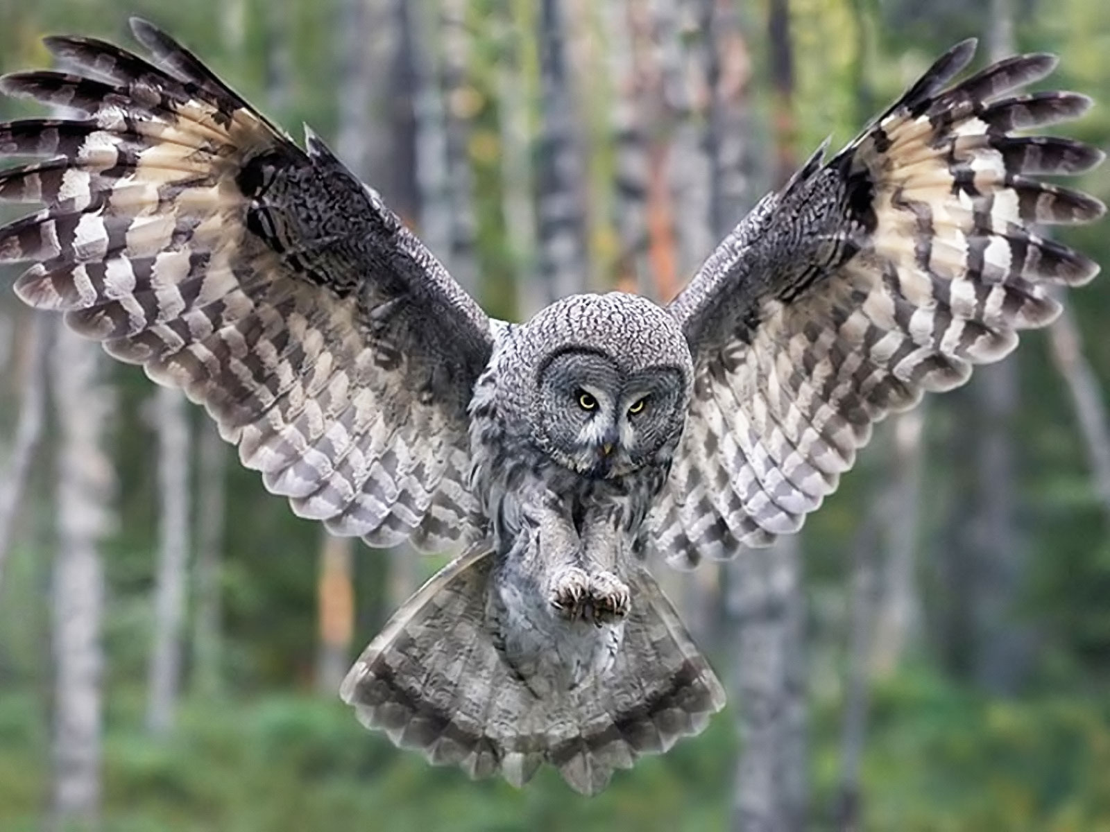 26 Great grey owl HD Wallpapers | Backgrounds - Wallpaper ...