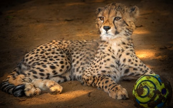 Animal Cheetah Cats Big Cat Wildlife predator HD Wallpaper | Background Image