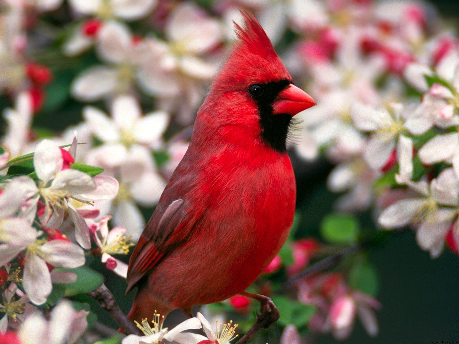 Animal - Cardinal  Wallpaper