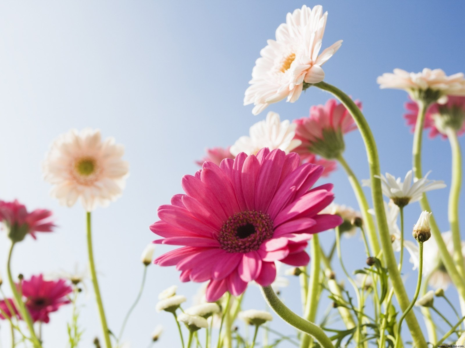 Earth - Gerbera  Flower Wallpaper