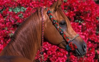 Animal - Horse Wallpapers and Backgrounds ID : 96588