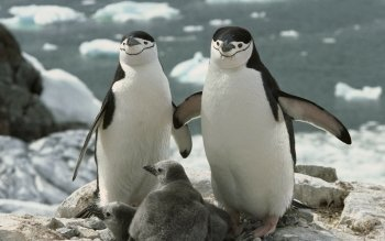 Animal - Penguin Wallpapers and Backgrounds ID : 96618