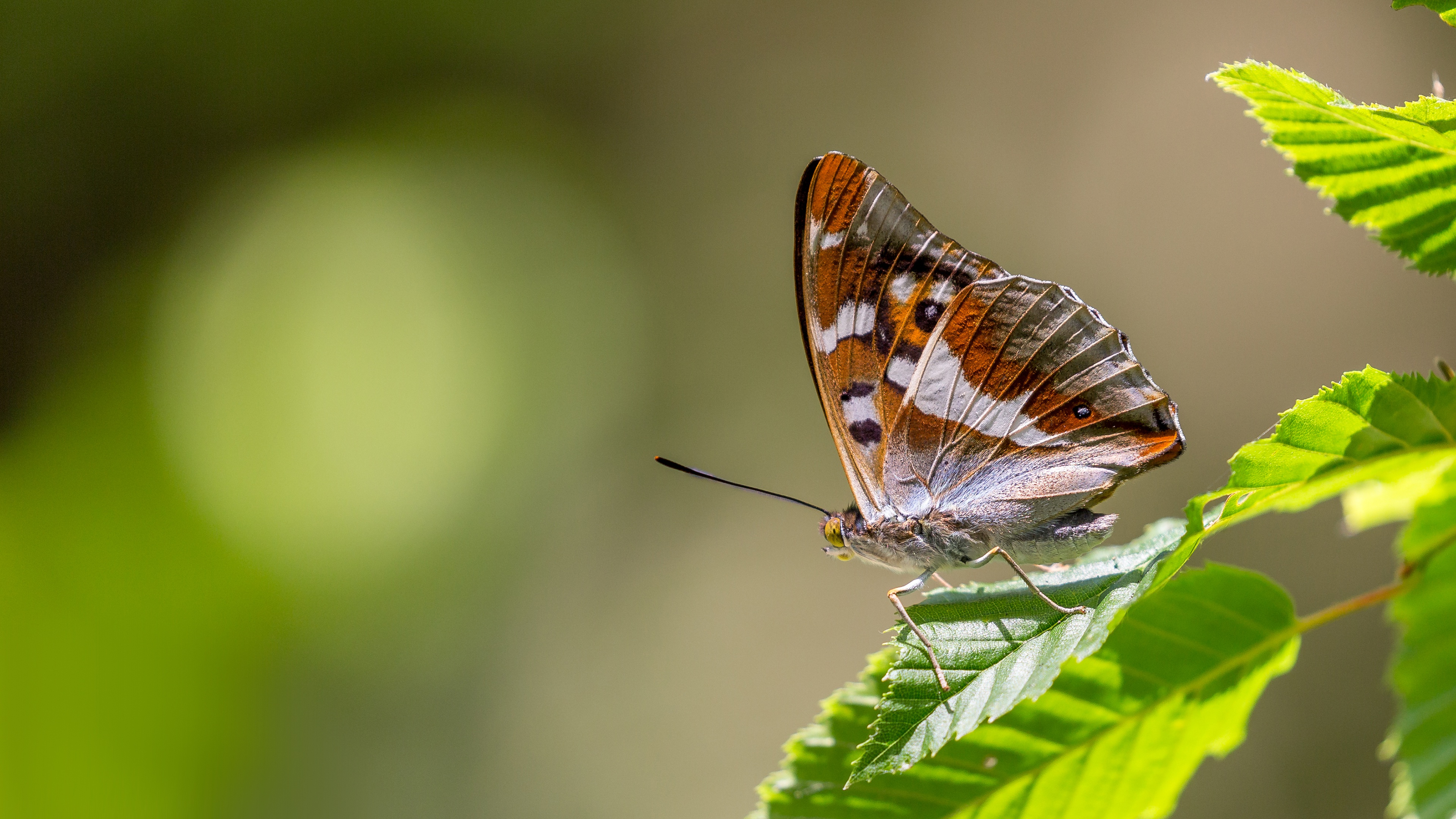 Brown Butterfly On A Leaf 4k Ultra Hd Wallpaper Background