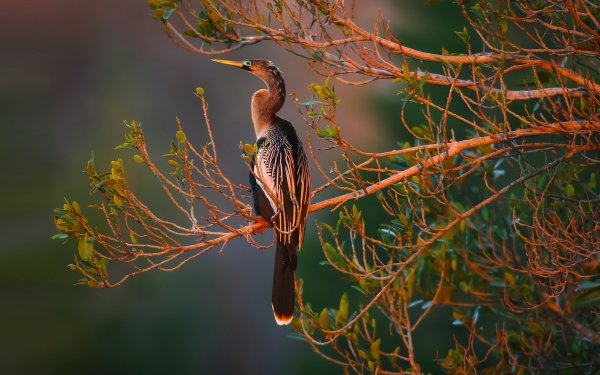 Animal Bird Birds Anhinga HD Wallpaper | Background Image
