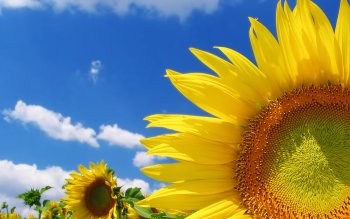 Earth - Sunflower Wallpapers and Backgrounds ID : 99546