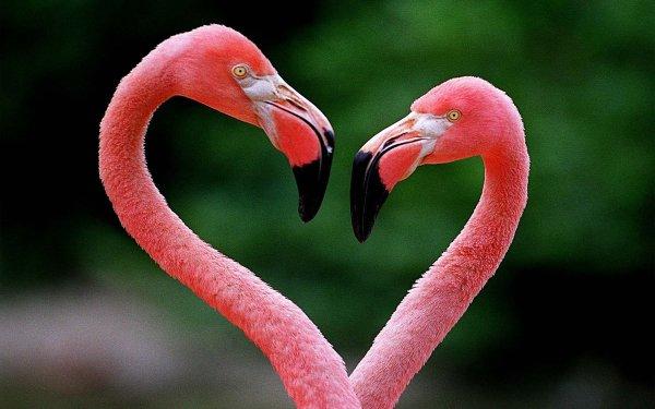 Animal Flamingo Birds Flamingos Bird Heart-Shaped HD Wallpaper | Background Image