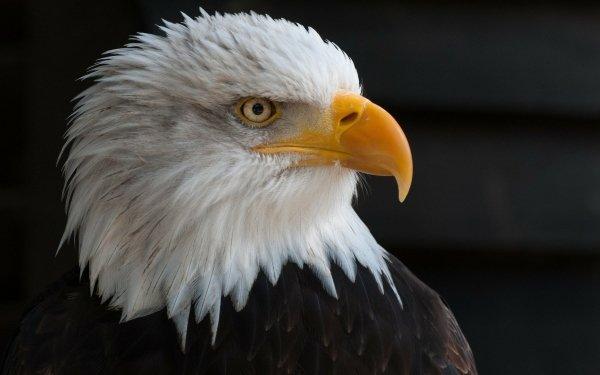 Animal Bald Eagle Birds Eagles Eagle Bird HD Wallpaper   Background Image